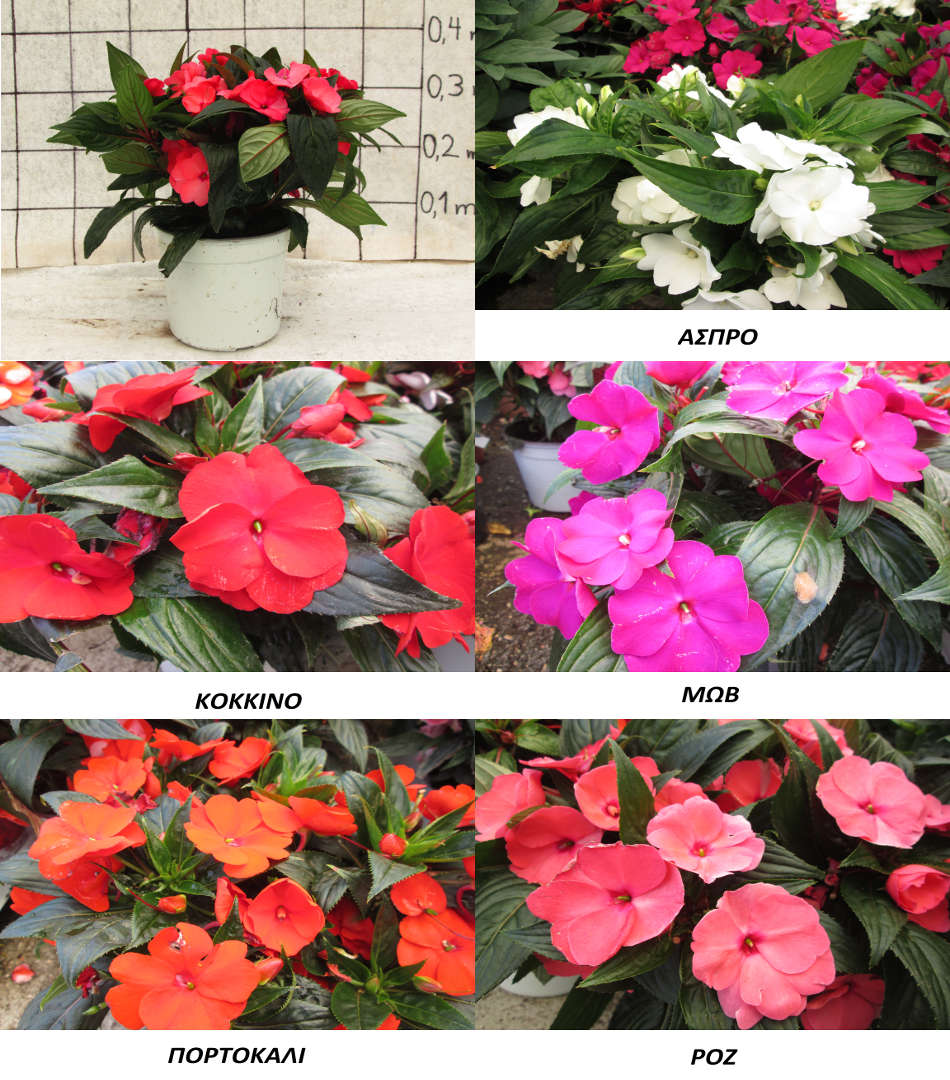 impatiens-article
