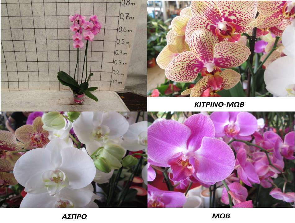 orchid-article