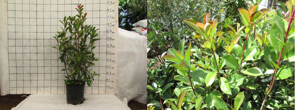 photinia-article