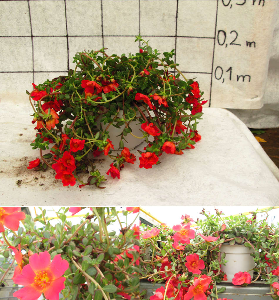 portulaca-article
