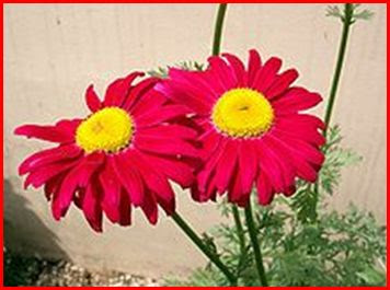 xrysanthemo