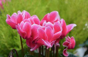 λουλούδια κυκλάμινου